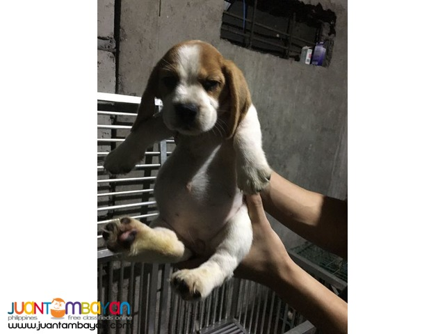 RUSH QUALITY BEAGLE PUPPIES 20 REDS