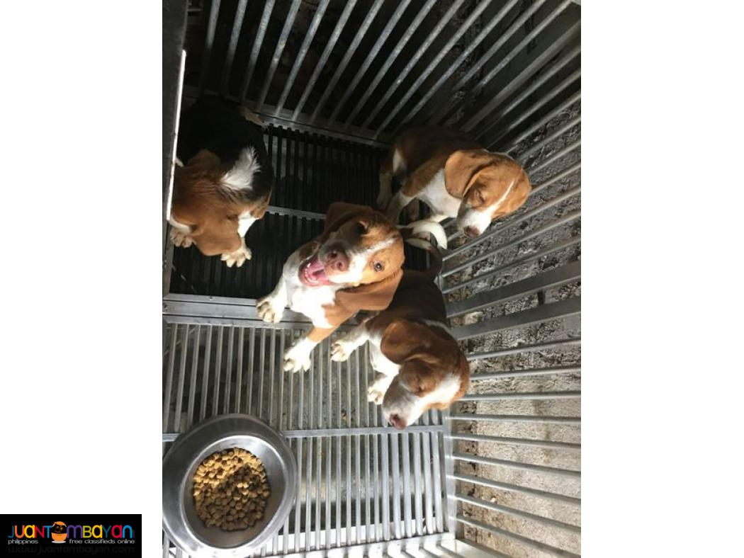 YEAR 2020 BATCH QUALITY BEAGLE PUPPIES