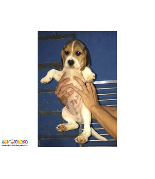 Quality beagle Puppies For good homes