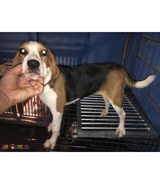 Quality Near Heat Beagle Champ Lineage