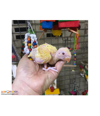 Baby parrots, eggs and other supplies