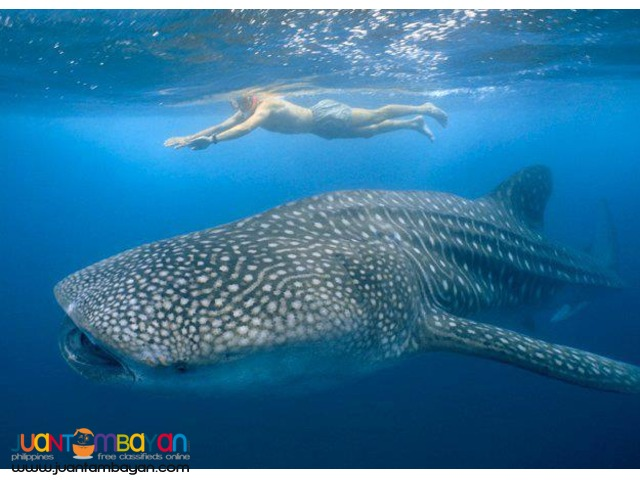 Bicol Tour Package, Donsol Whale Shark